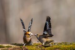 Fågel förälskelse, natur, djurliv som är löst, kamp, färg, sommar, djur royaltyfri bild