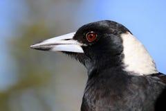 Fågel för australisk skata för headshot- och övrekroppcloseup Arkivfoto