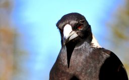 Fågel för australisk skata för Headshotprofil- och övrekroppcloseup Royaltyfri Bild