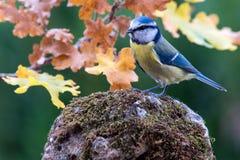 Fågel för blå mes i natur Arkivbilder