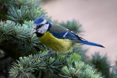 Fågel för blå mes i träd Arkivfoton