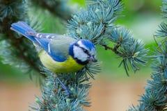 Fågel för blå mes i träd Royaltyfri Foto