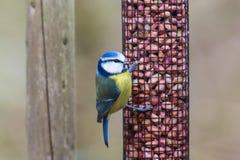 Fågel för blå mes som sitter på en fågelförlagematare Royaltyfri Fotografi