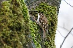 Fågel för brun ranka royaltyfri fotografi