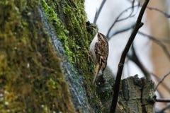 Fågel för brun ranka royaltyfria foton