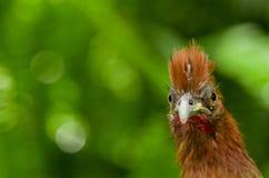 Fågel för Chachalaca ortaliserythroptera från Ecuador Arkivbilder
