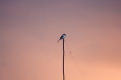 Fågel för europeisk skata på filial under solnedgång Arkivfoton