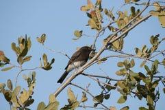 Fågel för flugsnappare för svarta Phoebe Sayornis nigricans svartvit Royaltyfria Foton