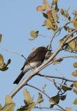Fågel för flugsnappare för svarta Phoebe Sayornis nigricans svartvit Arkivfoto