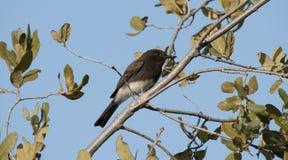 Fågel för flugsnappare för svarta Phoebe Sayornis nigricans svartvit Royaltyfri Foto