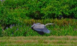 Fågel för häger för stora blått som (Ardeaherodias) tar flyg Arkivbild