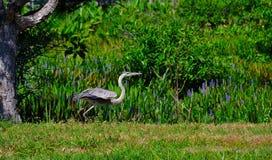 Fågel för häger för stora blått som (Ardeaherodias) tar flyg Royaltyfria Bilder