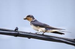 Fågel för ladugårdsvala som sätta sig på telefontrådar Royaltyfri Fotografi