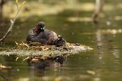 Fågel för liten dopping Royaltyfri Fotografi