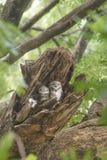 Fågel för prickig uggleunge för FÅGEL härlig i rede Arkivfoto