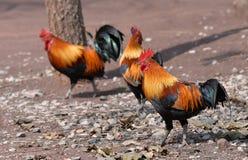 Fågel för röd djungel arkivfoto