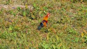 Fågel för röd djungel stock video