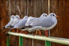 Fågel för Seagulls—fiskmås Royaltyfri Bild
