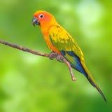 Fågel för solConure papegoja Arkivbilder