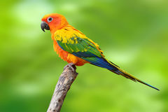 Fågel för solConure papegoja Royaltyfri Bild