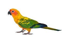 Fågel för solConure papegoja Fotografering för Bildbyråer