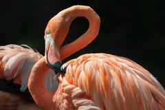 Fågel flamingo på svart bakgrund Royaltyfria Bilder