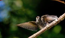 FÅGEL: Flugsnappare Arkivfoto