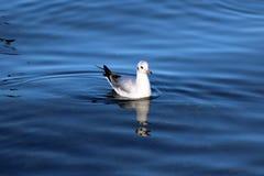 Fågel från sjöGenève royaltyfri fotografi