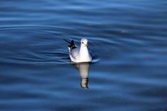 Fågel från sjöGenève arkivfoton