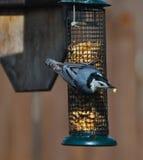 fågel gådd mot nuthatchwhite Arkivbild