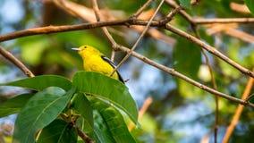 Fågel (gemensam iora) på ett träd Royaltyfri Fotografi