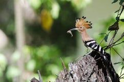 Fågel gemensamma HoopoeUpupaepops Fotografering för Bildbyråer