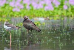 fågel glansiga ibis Arkivbilder