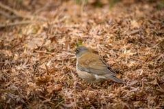 Fågel i Autumn Leaves Royaltyfria Foton