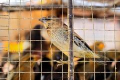 Fågel i bur Fotografering för Bildbyråer