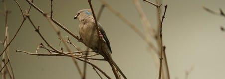 Fågel i en bur Royaltyfria Bilder