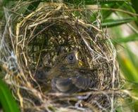 Fågel i en gömma i handflatan Arkivbild