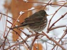 Fågel i en vinranka efter den första vinterstormen Arkivfoton