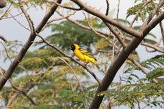 Fågel i Etiopien Arkivbild