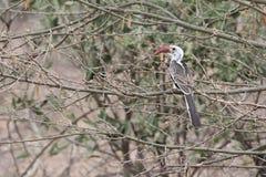 Fågel i Etiopien Arkivbilder