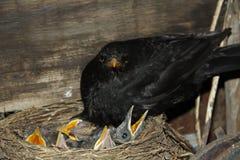 Fågel i ett rede med fågelungar Arkivbild