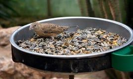 Fågel i fågelförlagematare arkivbilder