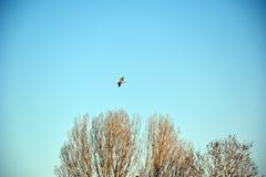 Fågel i flyg Royaltyfri Foto