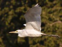 Fågel i flyg Royaltyfria Foton
