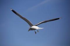 Fågel i flyg Arkivfoton