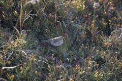 Fågel i grässlätten Fotografering för Bildbyråer