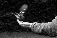 Fågel i hand Arkivbild