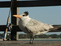 Fågel i havet med fishingman arkivbilder