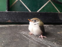 Fågel i hem Fotografering för Bildbyråer