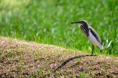 Fågel i naturen (den kinesiska dammhägret) Arkivfoto